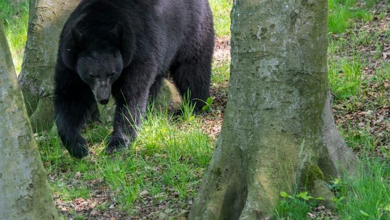 An American black bear