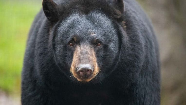 FILE- Black bear.