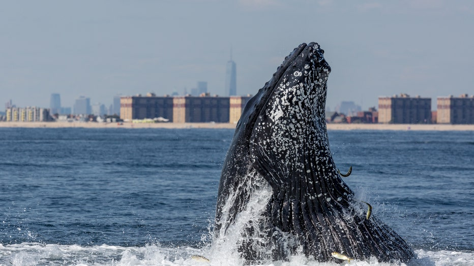 A Humpback whale lunge feeding off NYC's Rockaway Beach with the Freedom Tower in the background.