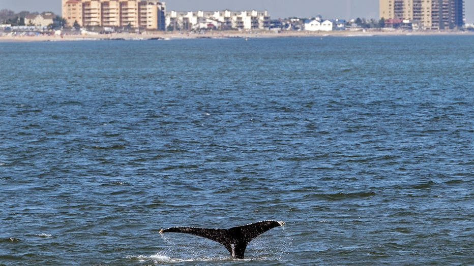 According to Paul Sieswerda, President and CEO of Gotham Whale, sightings are up nearly a hundred fold from just a decade ago, with an abundance of menhaden seemingly driving the whale resurgence. (AP Photo/Craig Ruttle)