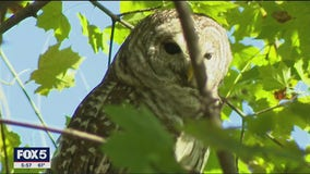 Rare owl spotted in Central Park becomes NYC's latest celebrity