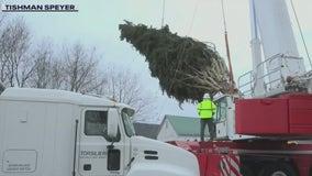75-foot spruce cut down for Rockefeller Center Christmas tree