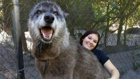 'Giant' Florida wolfdog that went viral has died at 13