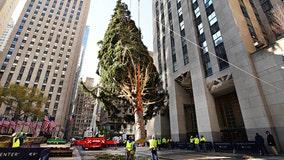 2020 Rockefeller Center Christmas tree goes up
