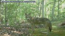Coyote alert on Long Island