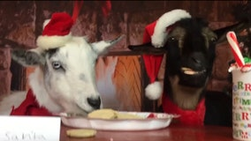 2 mischievous goats eat cookies meant for Santa