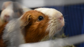 Hundreds of guinea pigsrescued from one home