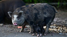 Feral pigs flummox Puerto Rico, infiltrate communities