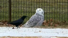 Snowy Owl spotted in Central Park for first time in over a century