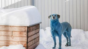 Dogs with colored fur cause confusion in Russia