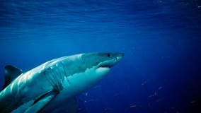 Great white shark count up significantly in Monterey Bay