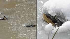 'Frozen' alligators stick noses through ice to survive in Oklahoma