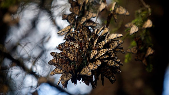Monarch butterflies typically found in winter resting grounds in Mexico declined by 26%