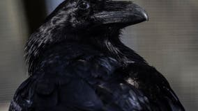 Some Costco shoppers say ravens steal their groceries