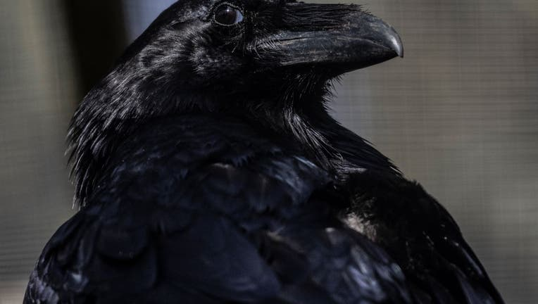 A Raven in its enclosure