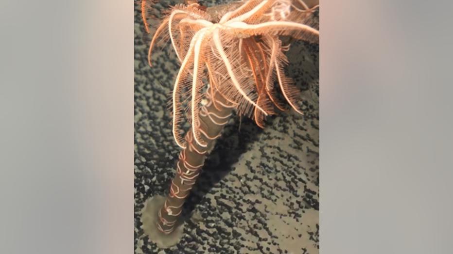 WoRMS-Top-Ten-2020-Astrolirus-patricki-1.png