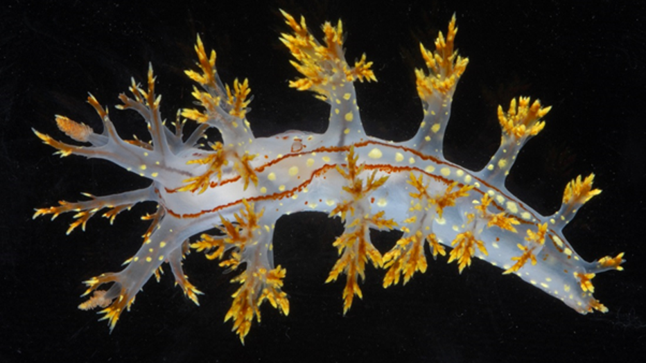 WoRMS-Top-Ten-2020-Dendronotus-yrjargul.png