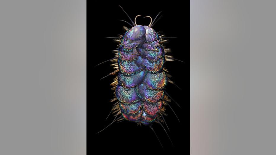 WoRMS-Top-Ten-2020-Peinaleopolynoe-orphanaei.png