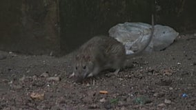 Sewer rats invade New York City as COVID restrictions ease