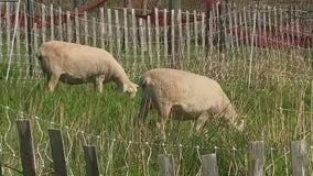 Sheep on Governors Island