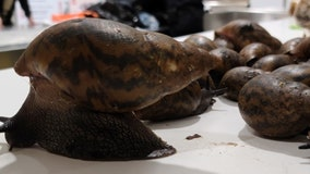 Customs inspectors find invasive giant snails in suitcase at JFK Airport
