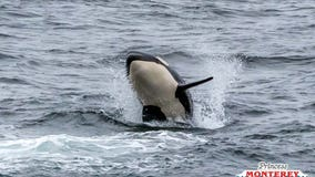 VIDEO: Pod of killer whales spotted off Monterey Coast