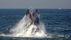 Whale-watching tours from Manhattan coming in May