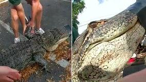 10-foot alligator found underneath car at Tampa apartment complex