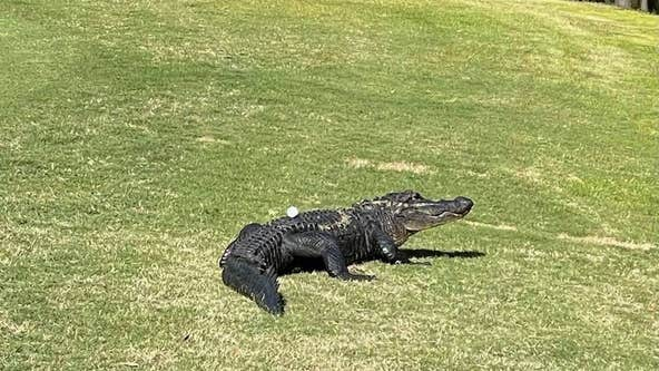Play through? South Carolina golfers consult rule book after ball lands squarely on alligator's back
