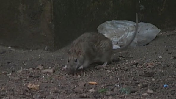 Rat complaints skyrocket in NYC as COVID restrictions ease