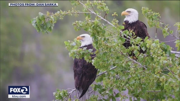 Wildlife officials investigate possible drone crash into bald eagle nest in Fremont