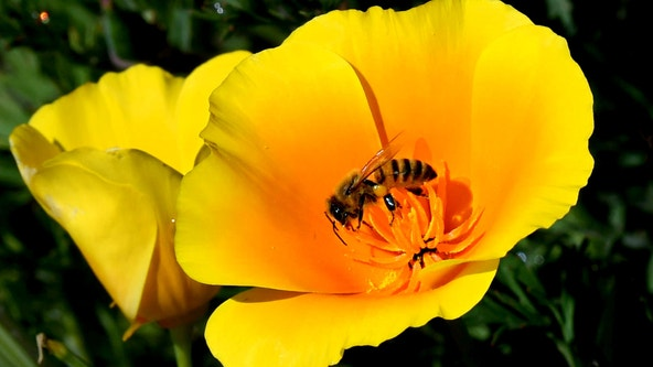 Pollen could play role increased COVID-19 infection rates, study suggests