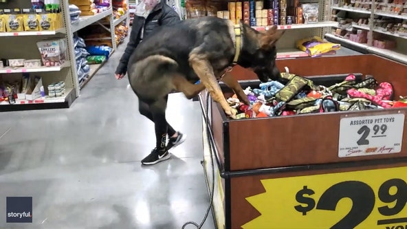 Video: Excited German shepherd jumps into store toy bin