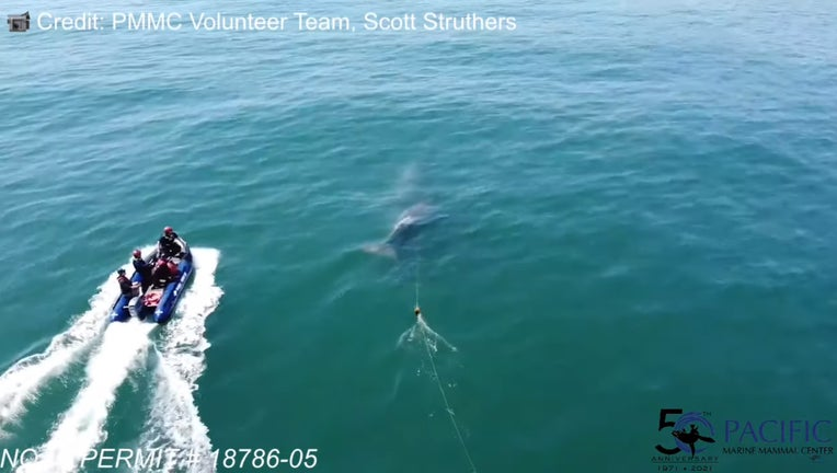 SCREENSHOT-Entangled-Gray-Whale-Calf-Rescue-Attempt-4.19.jpg