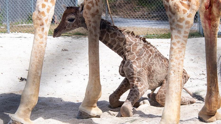 zoo-miami-baby-giraffe-ron-magill-1.jpg