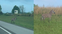 Zebra escapes Tennessee auction house, seen wandering rural neighborhood