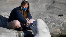 Beluga whales arrive at Mystic Aquarium after legal battle