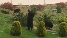 Mama bear and cubs caught looking for food in Massachusetts yard