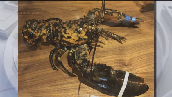 Rare lobster saved from being dinner at Red Lobster: 'One in every 30 million'