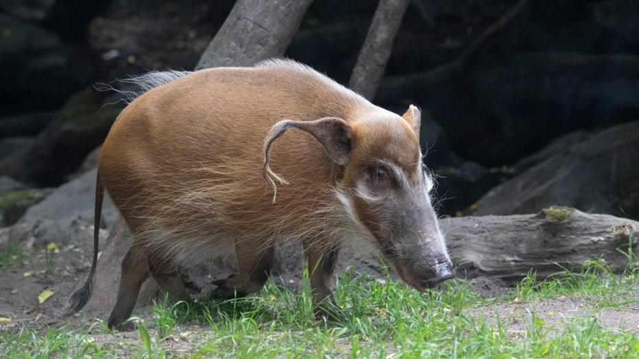 A red river hog in a zoo habitat