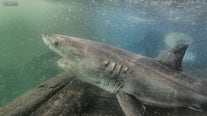 Trio of great white sharks spotted off of NY, NJ coasts