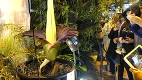 Corpse flower blooms in Poland, drawing crowds