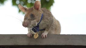 Hero rat retiring after 5 years of sniffing out land mines