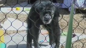 Oldest male chimpanzee in U.S. dies at 63