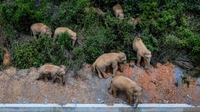 Wild elephant herd approaches major Chinese city after 300-mile journey