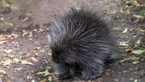 Baby porcupine now on display at Prospect Park Zoo