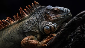 'Stand your ground' defense rejected in iguana killing