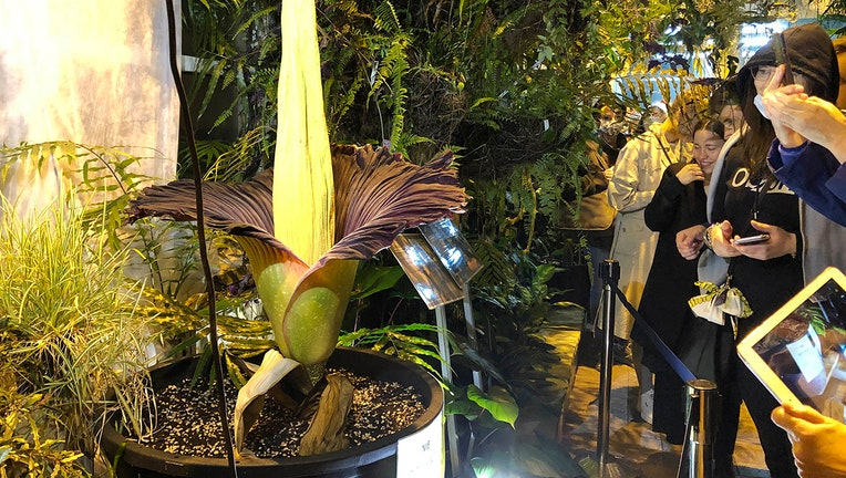 Huge flower blooming inside botanical garden as visitors look on and take pictures