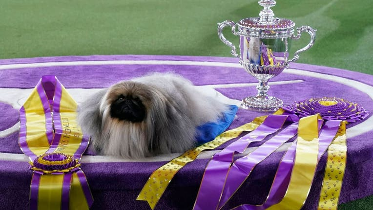 """Pekingese dog """"Wasabi"""" is seen with the trophy after winning Best in Show"""