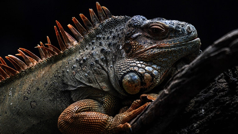 A file image on an iguana. (Photo by CHRISTOPHE ARCHAMBAULT/AFP via Getty Images)
